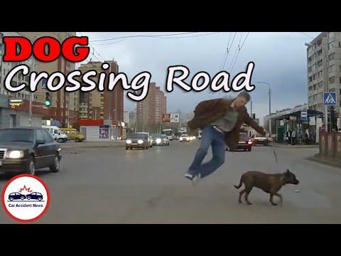 DOG Crossing the Road (Compilation -001-)  - «происшествия видео»